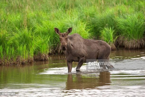 Alaskan moose (Alces alces gigas) cow crossing marsh, Homer, Alaska, USA