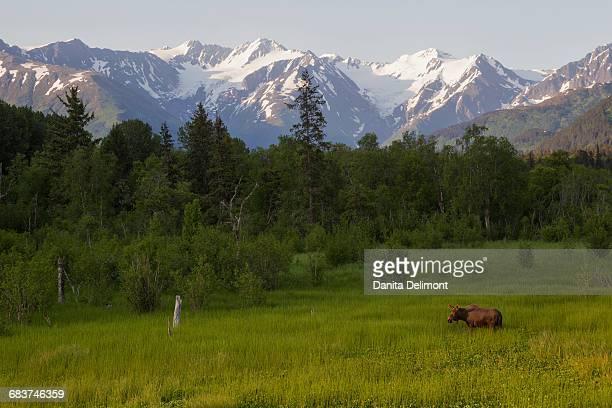 Alaskan Moose (Alces alces gigas) cow in meadow, Alaska, USA