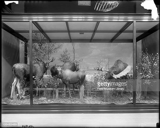 Alaskan Moose diorama with painted background A sign for the Bottlenose Whale Hyperoodon ampullatus and skeleton is visible above the exhibit case...
