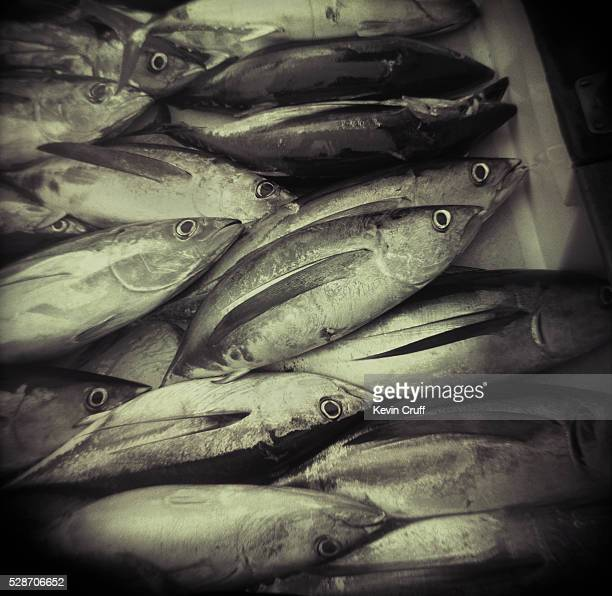 Albacore Tuna on Deck of Fishing Boat by Kevin Cruff
