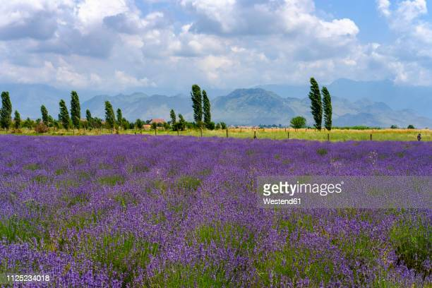 albania, koplik, lavender field - albanië stockfoto's en -beelden