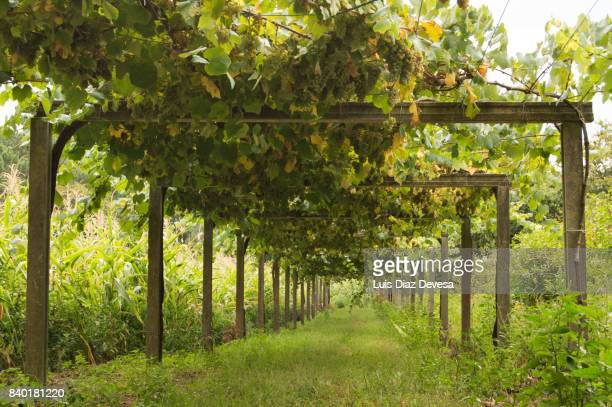 albarino grape vineyard - pontevedra province stock photos and pictures
