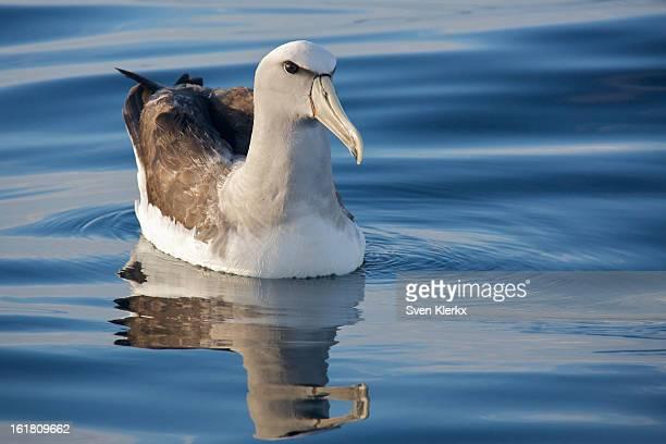 Albatros Encounter