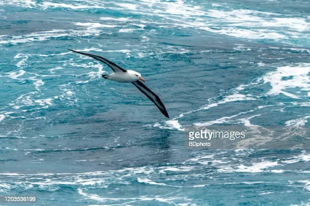 albatros in flight - albatross stock pictures, royalty-free photos & images