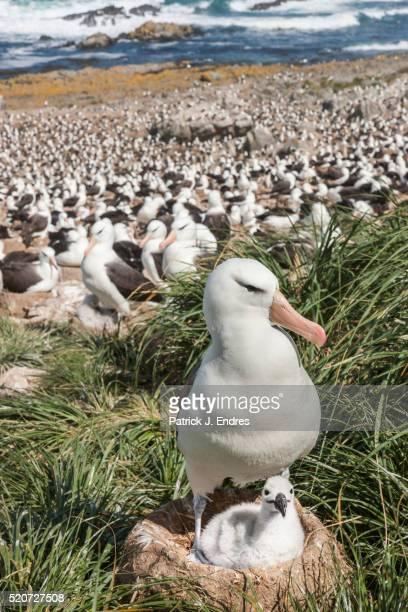 albatross and chick - albatros stock-fotos und bilder