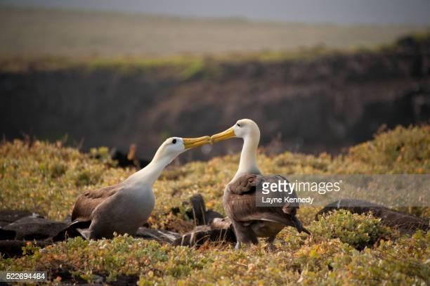 albatross birds courting dance, galapagos islands, ecuador - albatross stock pictures, royalty-free photos & images