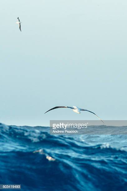 albatross in flight above the southern ocean - antarctic ocean stock pictures, royalty-free photos & images