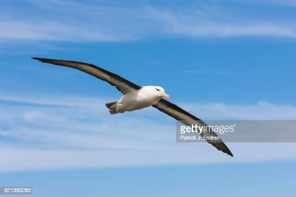 albatross in flight - albatross stock pictures, royalty-free photos & images