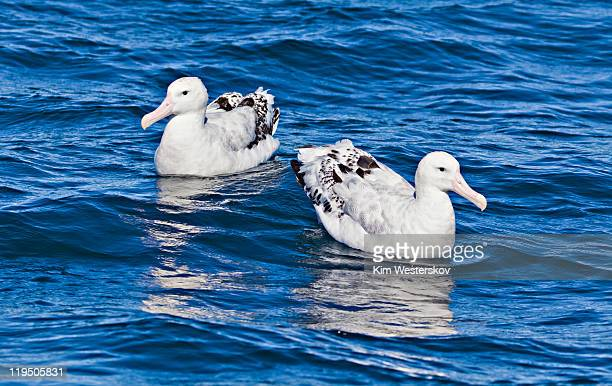 Albatross pair on sea, facing different directions