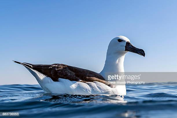 albatross resting on surface of ocean, port st. johns, south africa - albatross stock pictures, royalty-free photos & images