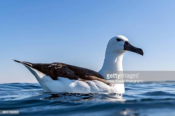 Albatross resting on surface of ocean, Port St. Johns, South Africa