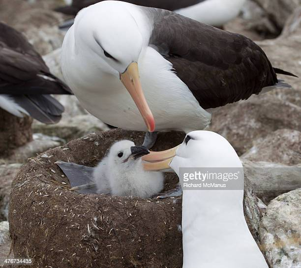 Albatrosses caring for chick