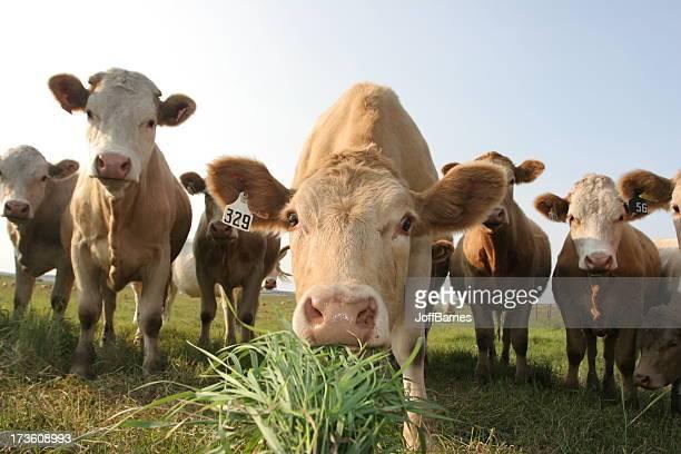 Alberta Cow