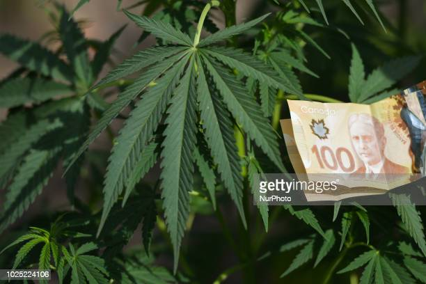 Alberta is poised to see cannabis as a major industry an opportunity for economic diversification Less then 8 weeks remain untill the legalization of...