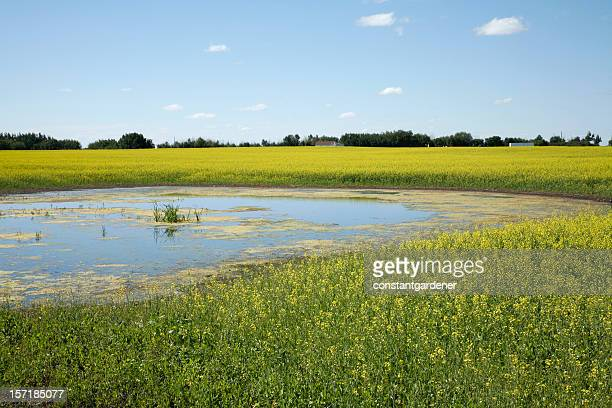 Alberta Prairie Landscape of Canola and Cattail Pond