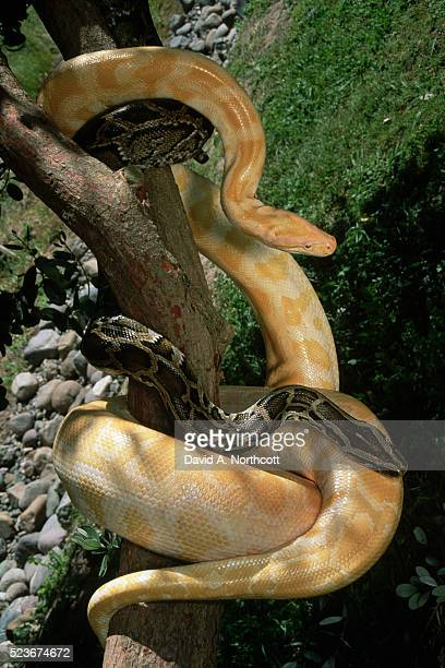 albino and normal burmese pythons - burmese python stock pictures, royalty-free photos & images