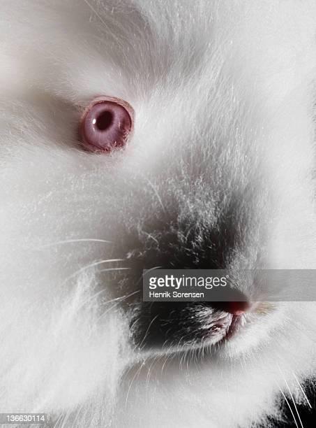 albino angora rabbit