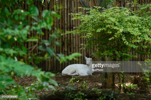 Albino Barking Deer inside a cage at Dusit Zoo in Bangkok Thailand 30 September 2018 Dusit Zoo is Thailand's first public zoo opened 80 years ago on...