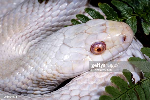 albino black rat snake - black rat snake stock pictures, royalty-free photos & images