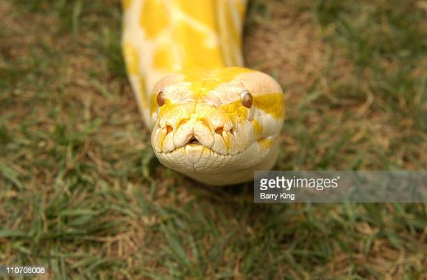 """Albino Burmese Python at Laguna's Festival of Arts in Laguna Beach, California on July 26, 2003 for the special """"Walk on the Wild Side"""" event."""