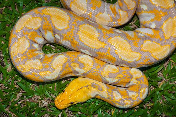 Albino Burmese Python Wall Art