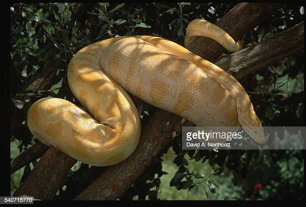 albino burmese python - indian python stock pictures, royalty-free photos & images