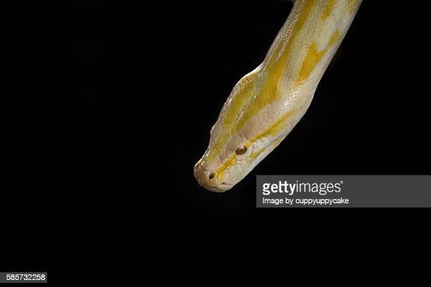 albino burmese python - yellow burmese python stock pictures, royalty-free photos & images