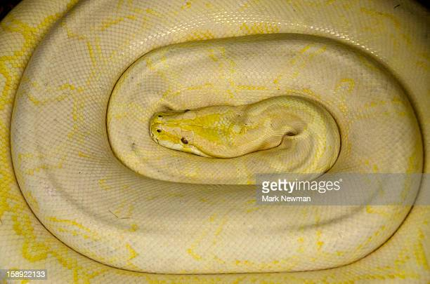 albino burmese python,coiled - yellow burmese python stock pictures, royalty-free photos & images