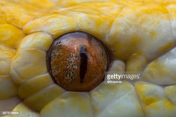 albino burmese pythons - burmese python stock pictures, royalty-free photos & images