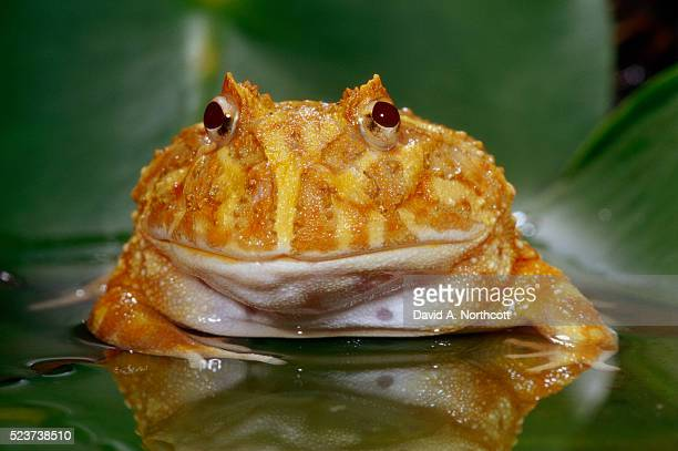 albino chacoan horned frog - horned frog stock photos and pictures