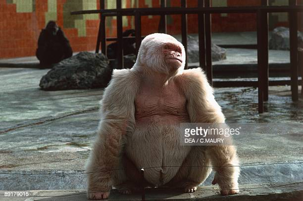 Albino gorilla in a zoo Barcelona Catalonia Spain