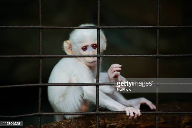 A albino macaque looks on from inside a cage at the Pata Zoo in Bangkok Thailand 27 July 2019 Pata Zoo is a small private zoo on the 6th and 7th...