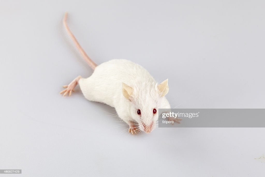 Albino mouse pose : Stock Photo