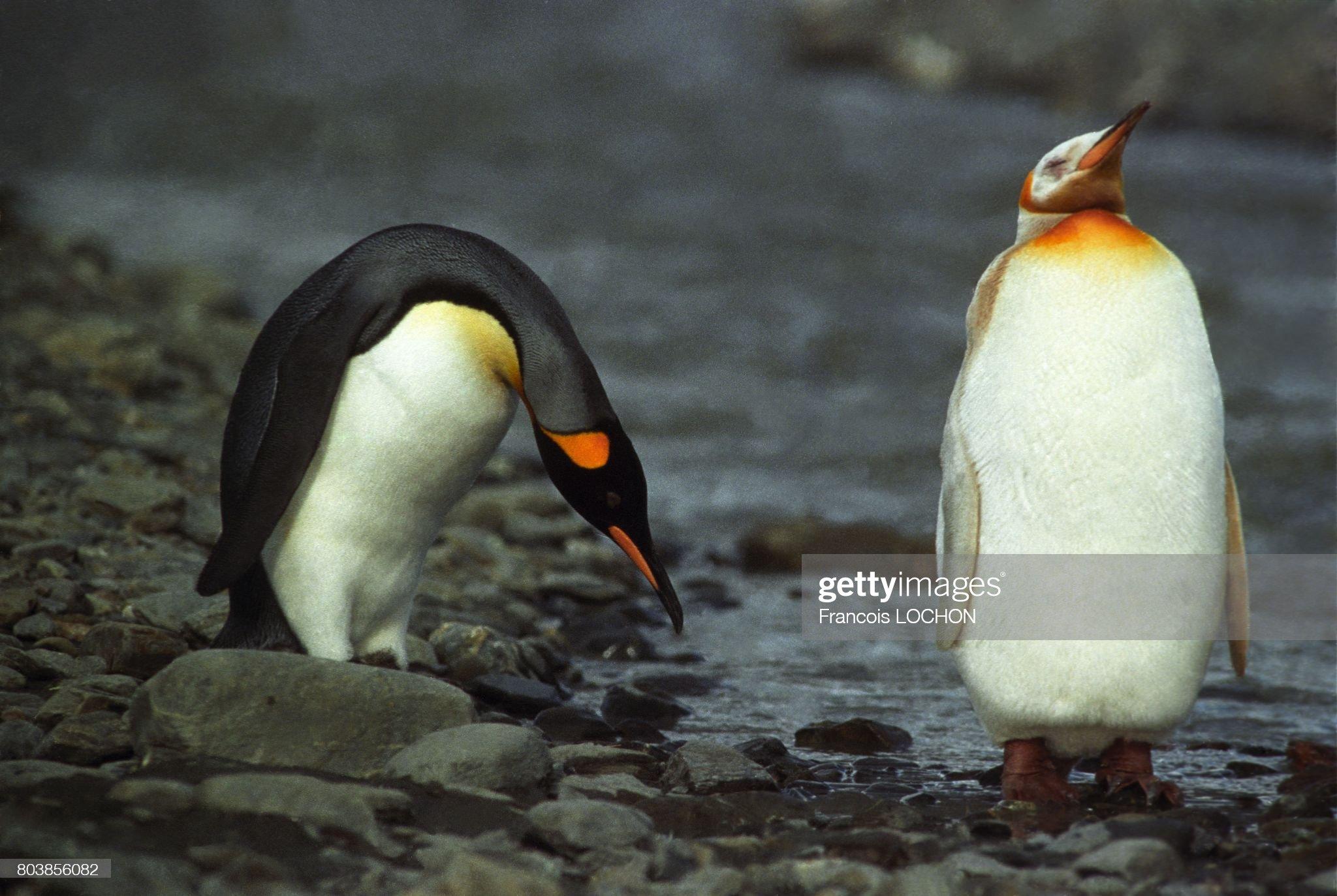 Альбинос, король пингвинов (Aptenodytes Patagonica), остров Южная Джорджия: фото новости