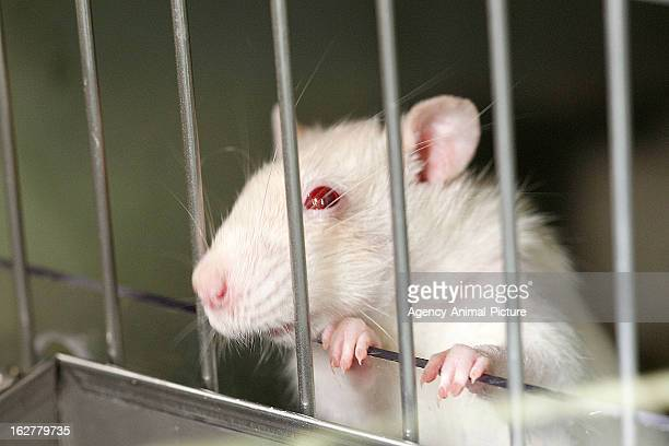 albino rat in a cage on February 23 2011 in Munich Germany