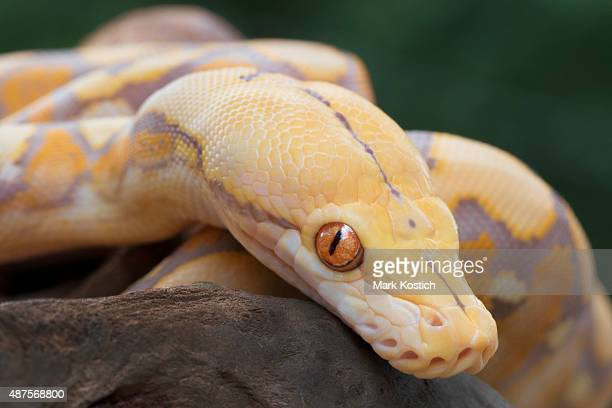 Albino Reticulated Python (Purple Phase)