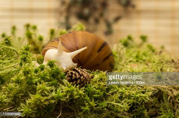 albino snail, achatina achatina, white tiger - giant african land snail stock pictures, royalty-free photos & images