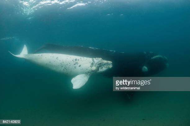 albino southern right whale calf swimming alongside it's mother in shallow water, valdez peninsula, patagonia, argentina. - duroni foto e immagini stock