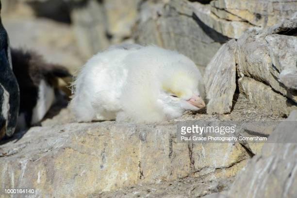 albino southern rockhopper penguin, eudyptes chrysocome - falklandinseln stock-fotos und bilder