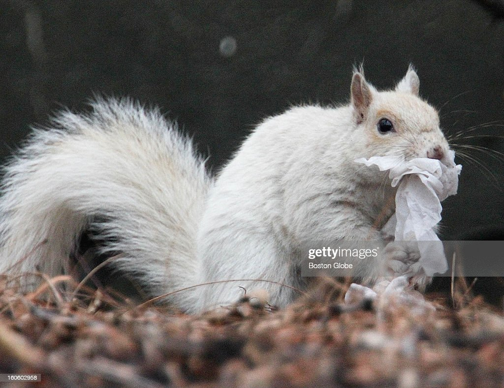 Albino squirrel spotted romping and scampering in a tree near Whittier Place in Boston's West End, Saturday, Jan. 12, 2013.