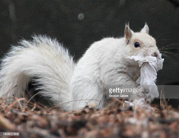 Albino squirrel spotted romping and scampering in a tree near Whittier Place in Boston's West End Saturday Jan 12 2013