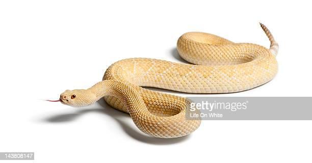 albino western diamondback rattlesnake - diamondback rattlesnake stock pictures, royalty-free photos & images