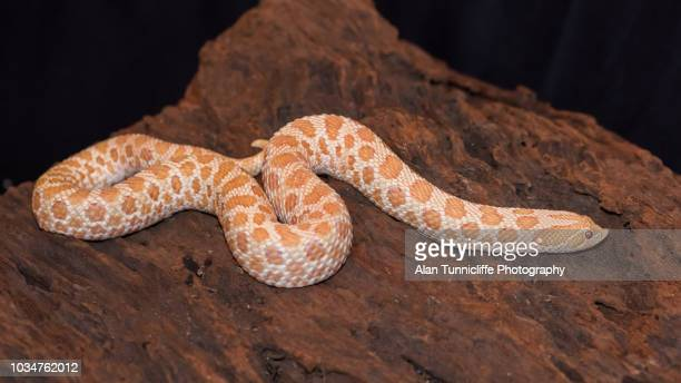 albino western hognose snake - hognose snake stock pictures, royalty-free photos & images