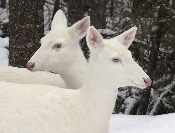 Albino white tailed deers