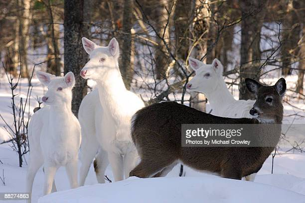Albino whitetail