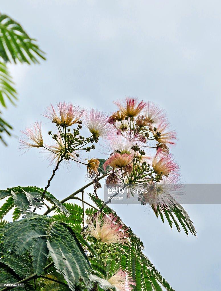 Albizia Julibrissin Tree Flower Persian Silk Tree Pink Silk Tr Stock