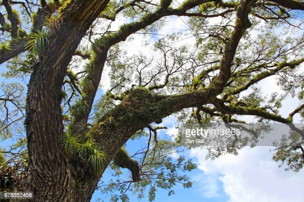 albizia saman or rain tree with epiphytes growing on branches - epiphyte stock pictures, royalty-free photos & images