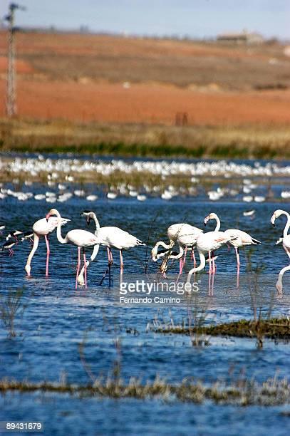 Alcazar de San Juan Ciudad Real Spain Pink Flamingoes in the Pool of Alcazar de San Juan