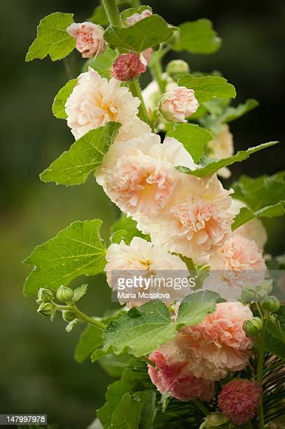 alcea 'peaches'n dreams' in bloom - hollyhock stock pictures, royalty-free photos & images