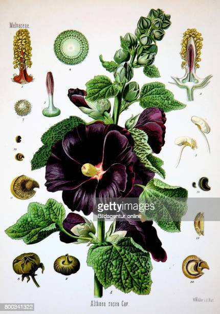 Alcea rosea common hollyhock Althaea chinensis Medicinal plant